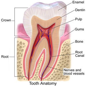 Neesh Dental Team of Saskatoon Dentists Tooth Anatomy Talk.